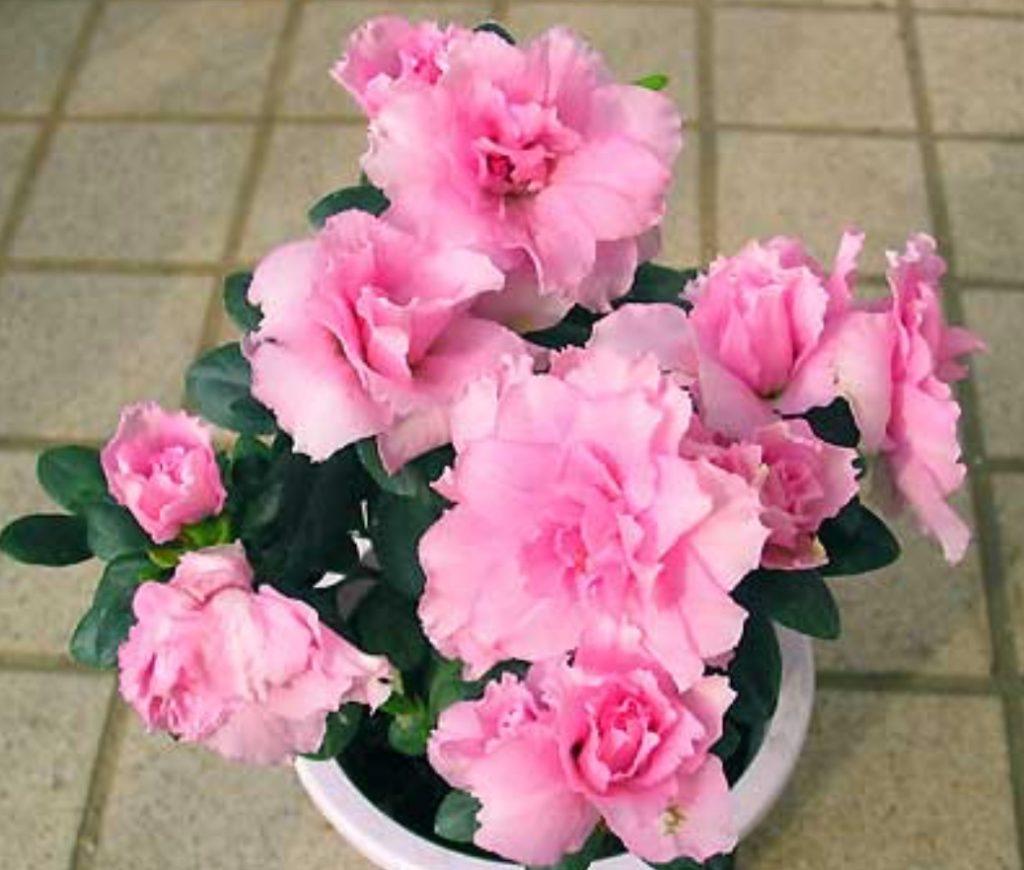 アザレアの鉢花